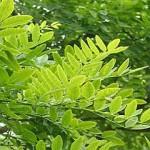sophora_japonica2