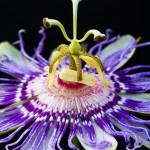 passiflora-incarnata-1-dawna-n-scott-moore-photography