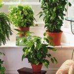 sobne-biljke