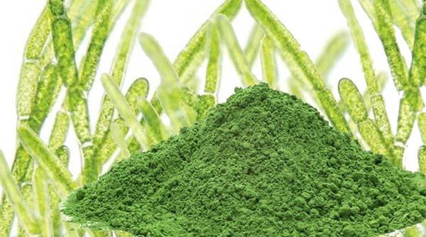 Hlorela-alga