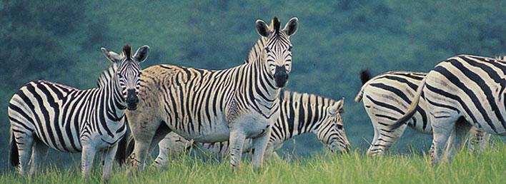 divlje zivotinje