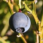 174px-Blaeberry_Vaccinium_myrtillus_-_geograph.org_.uk_-_260784